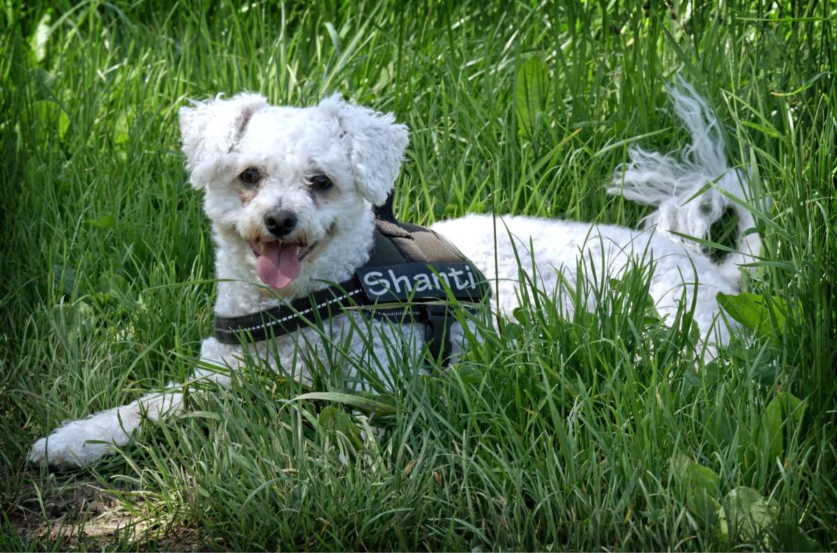 the griffon dog sheds file pm does shed american sep brussels association shedding