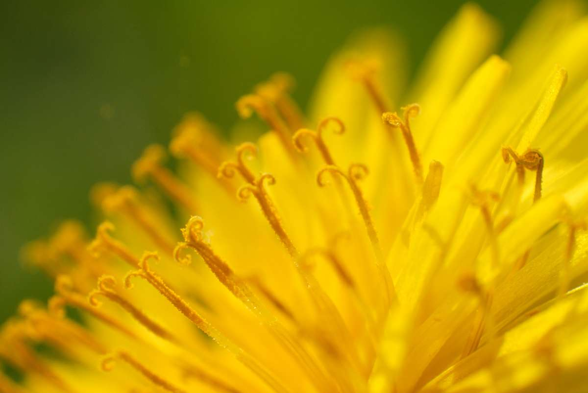 Dandelion pollen can cause allergies and asthma in children