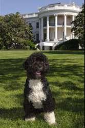 Bo - President Barack Obama