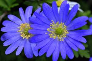 Aster flower as baby name idea