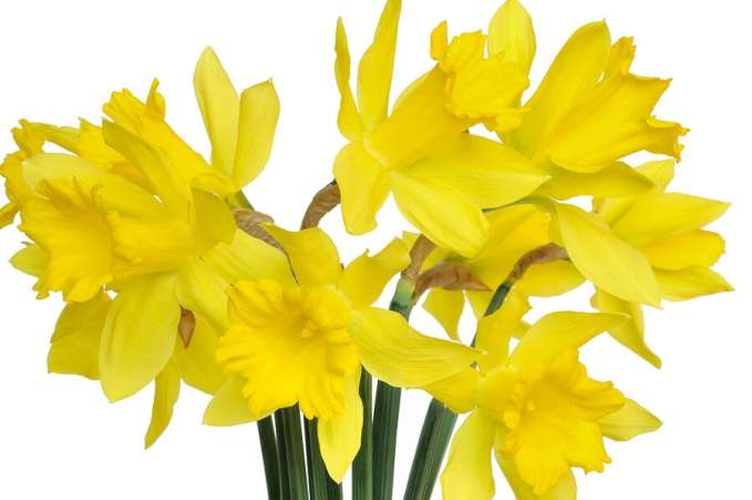 Fundraising ideas, daffodils for school flower sale