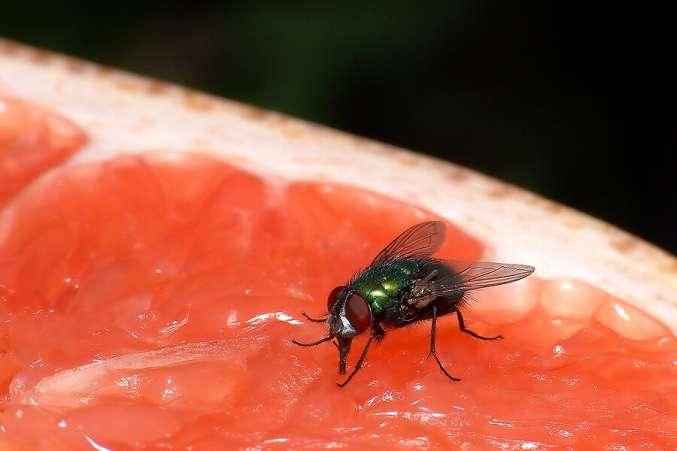 Summer Science for Kids, Black fly on a piece of fruit as backyard science