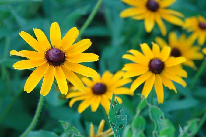 Blackeyed Susan flower as baby name idea