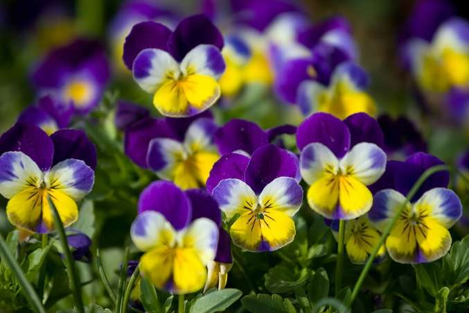 Violet flower as baby name idea