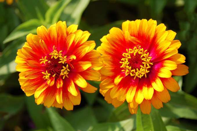 Zinnia flower as baby name idea