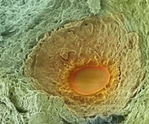 human egg developing in ovary on day 7 of menstrual cycle