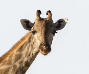 Close Up of Giraffe