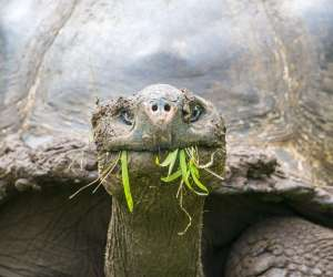 Lonesome George Giant Tortoise