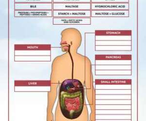 Enzymatic Reactions in the Human Digestive System