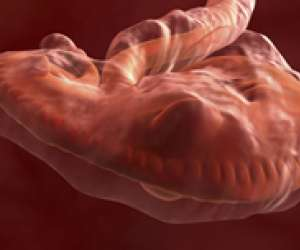 human embryo at 5 weeks and 4 days